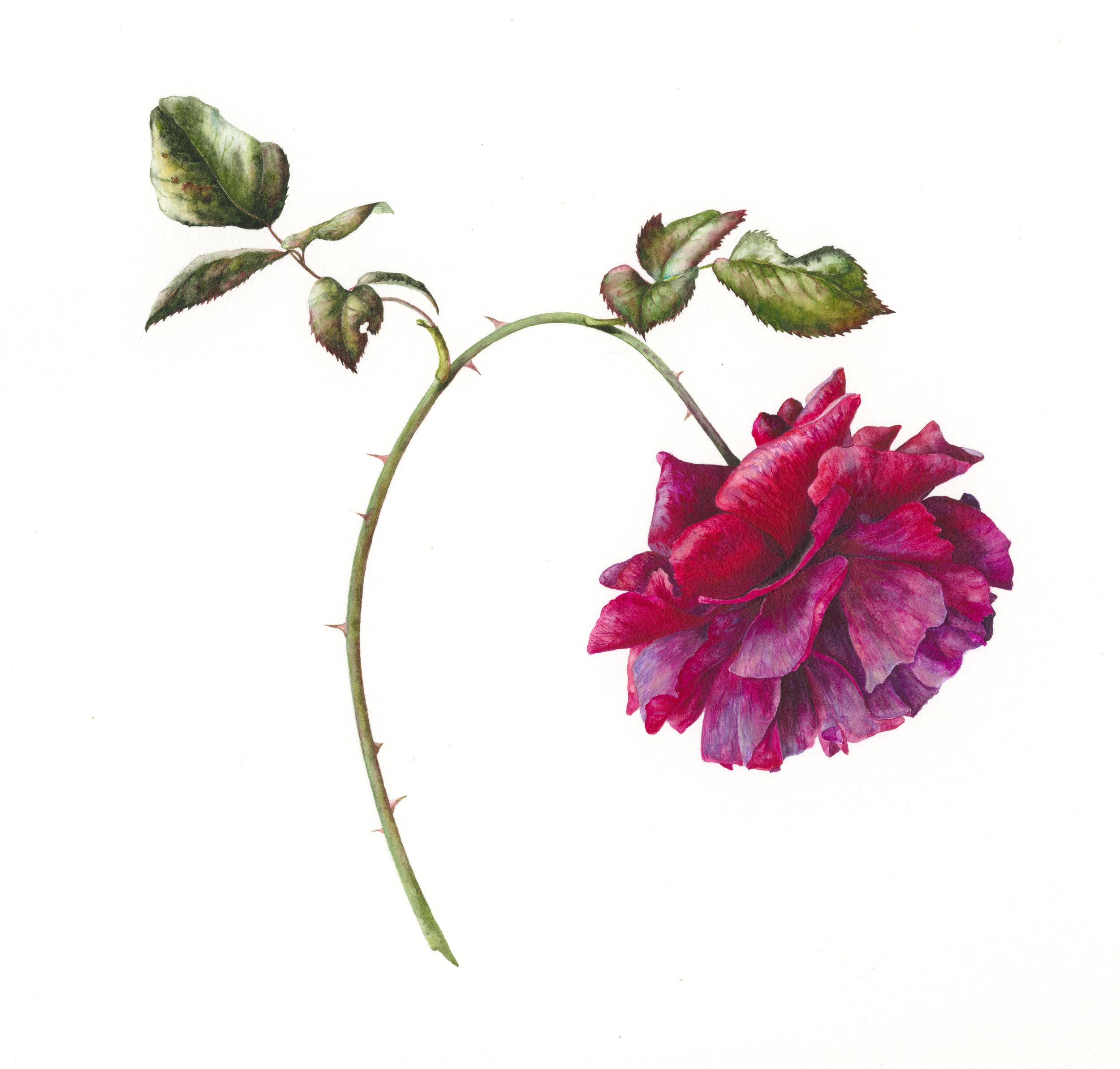 Rosa Farruca  watercolour on paper  31 x 31 cm image  54 x 54 cm framed  SOLD