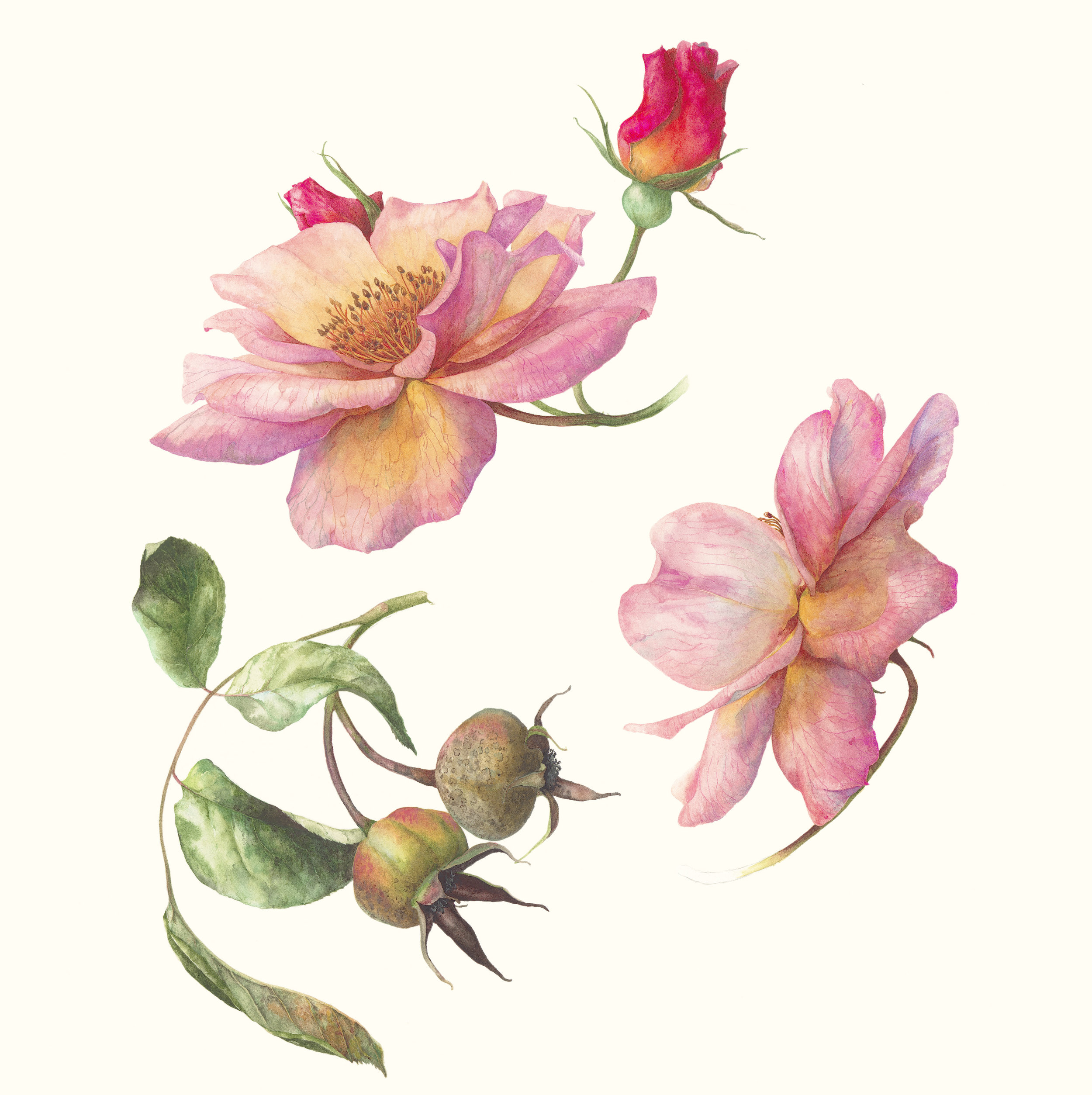 Rose in Summer and Autumn  watercolour on paper  29 x 31 cm image  52 x 55 cm framed  SOLD