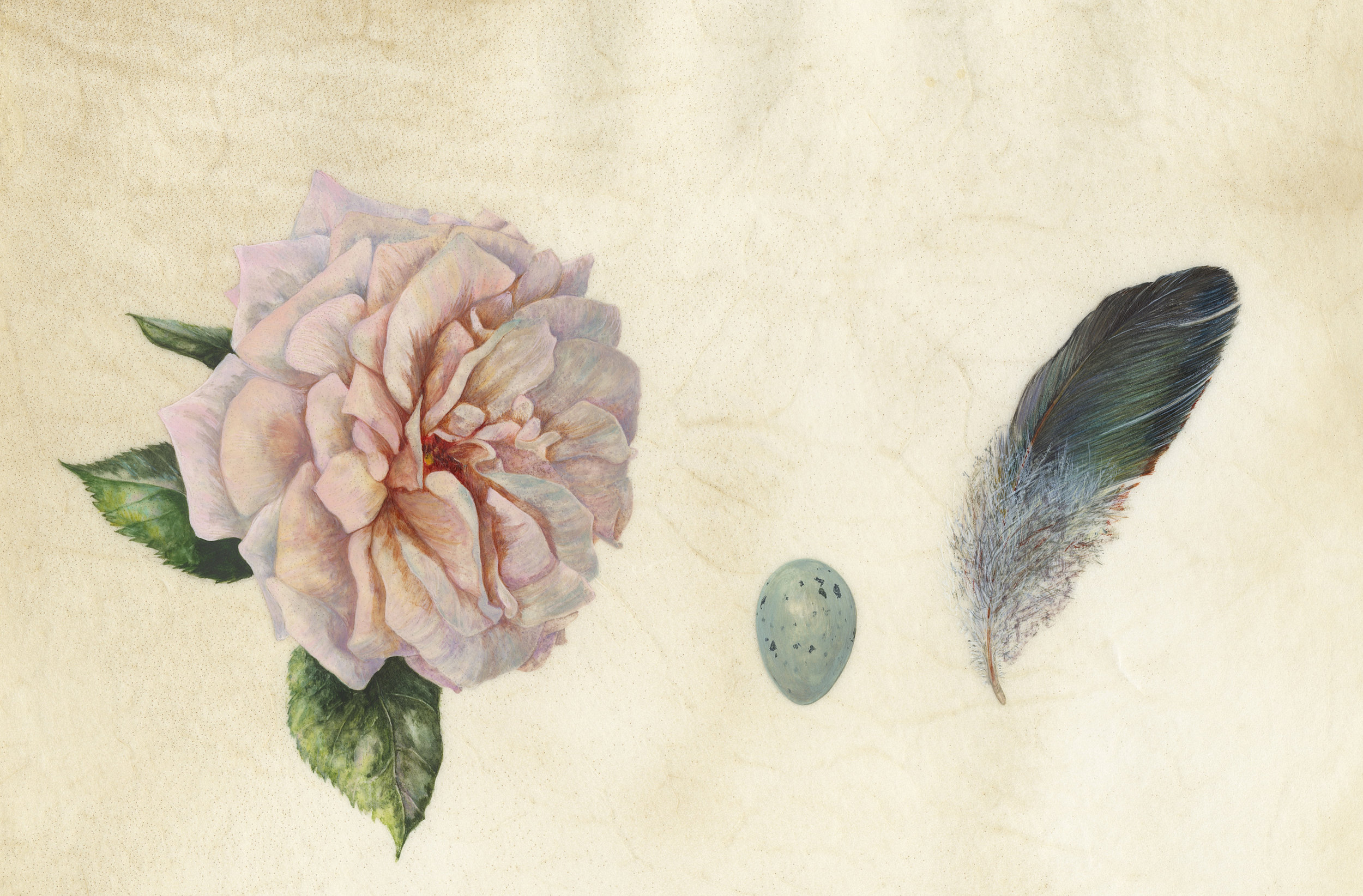 Rose, Thrush Egg and Feather  watercolour on vellum  25 x 15 cm image  48 x 38 cm framed  SOLD