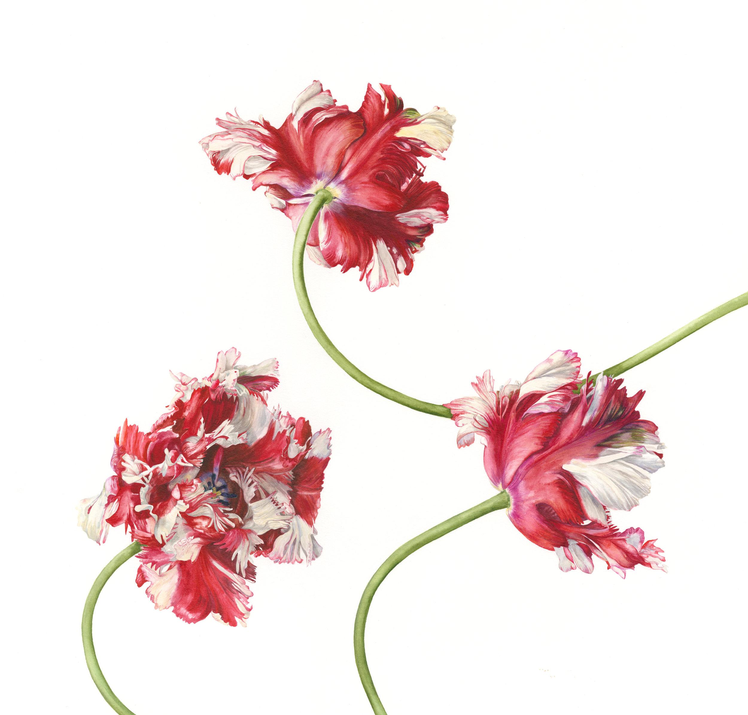 Tulipa Trio II 'Estella Rijnveld'  watercolour on paper  40 x 44 cm image  63 x 67 cm framed  £1800