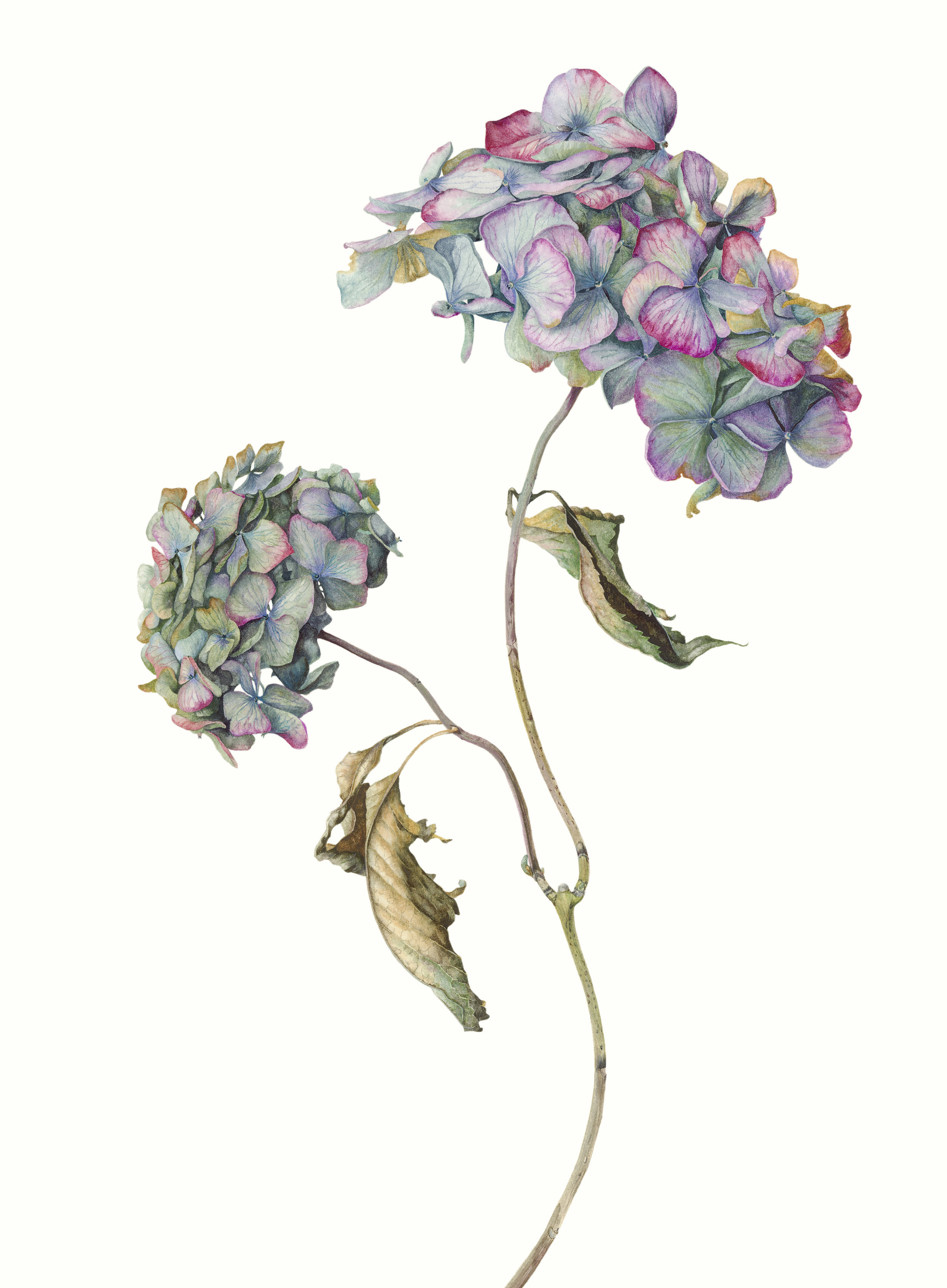 Hydrangea macrophylla Pimpernel.jpg