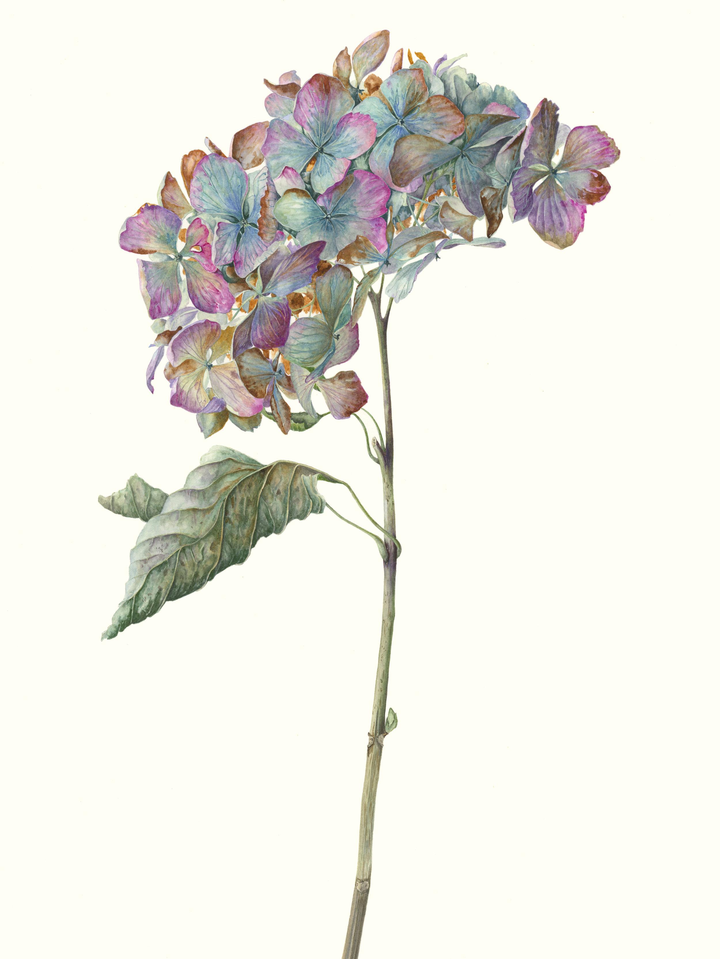 Hydrangea macrophylla Madame Emile Mouillere.jpg