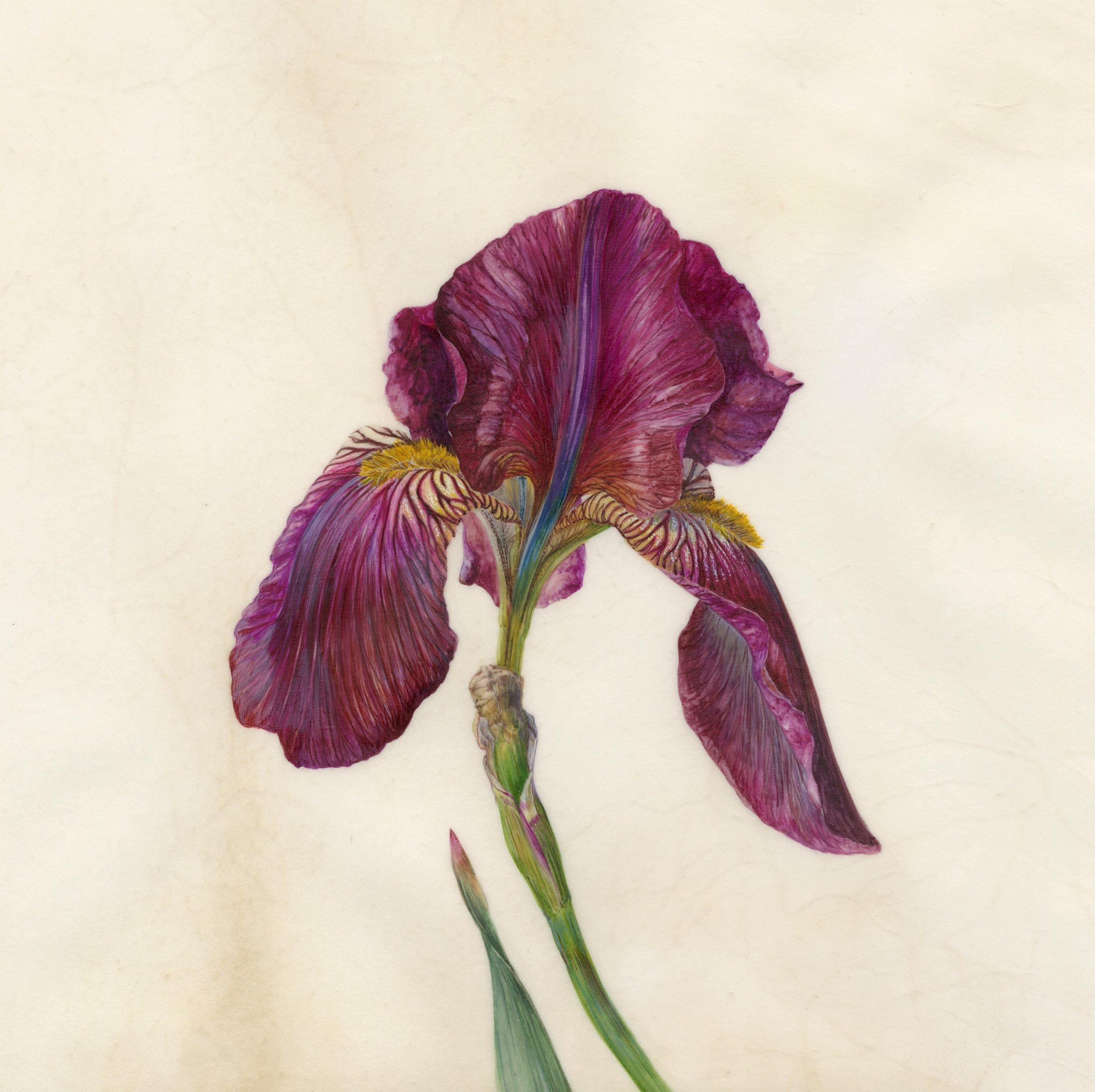 Iris Recognition V Red Orchid  watercolour on natural calfskin vellum  frame 45cm x 45cm  image 21.5cm x 21.5cm  £720 framed
