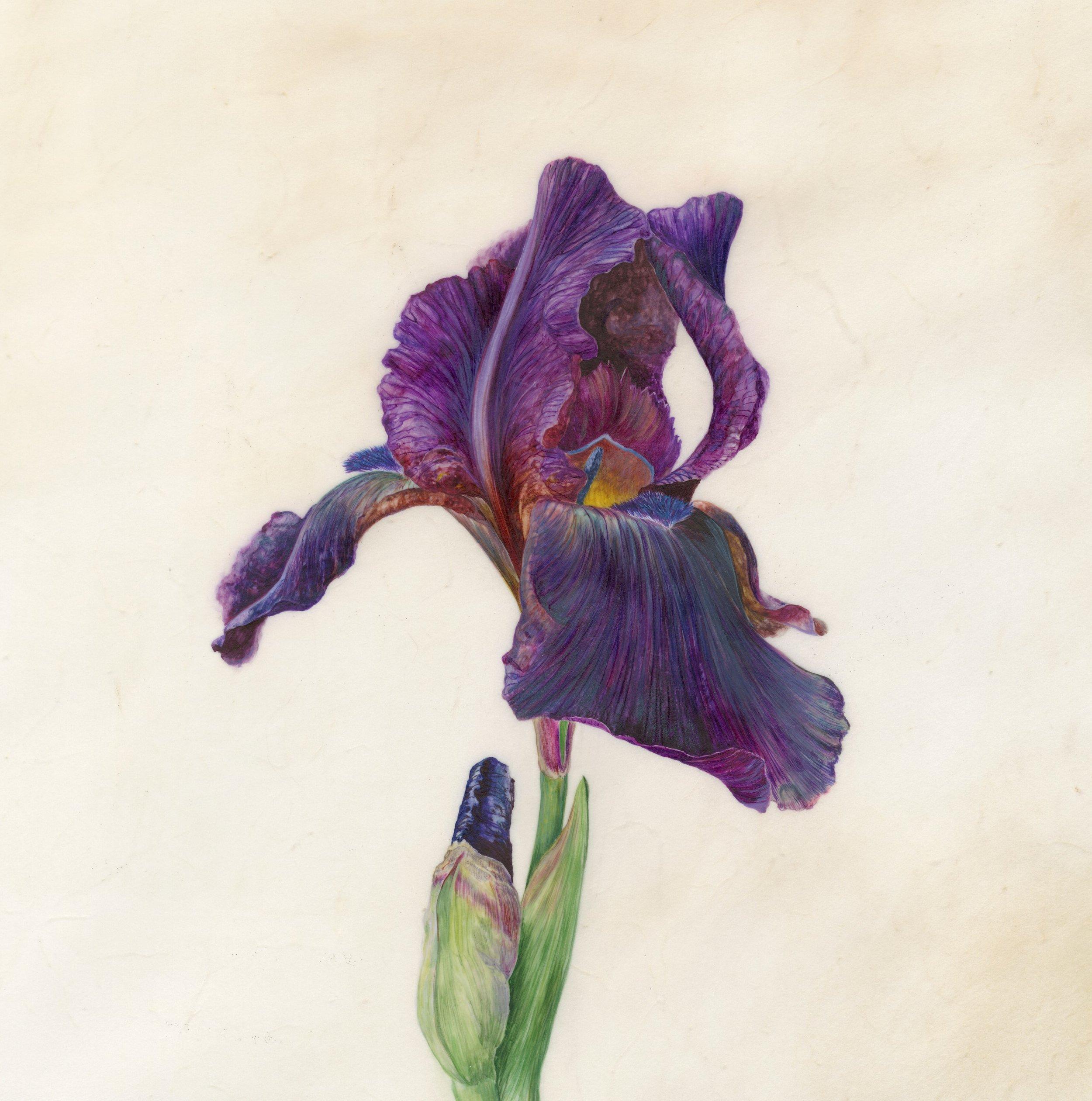 Iris Recognition VI Superstition  Watercolour on vellum  45 x 45cm framed  21.5 x 21.5cm image  £720 framed
