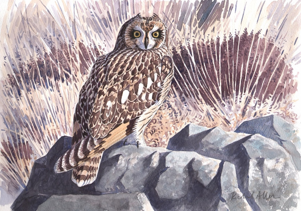 Short Eared Owl  Watercolour  £450 framed