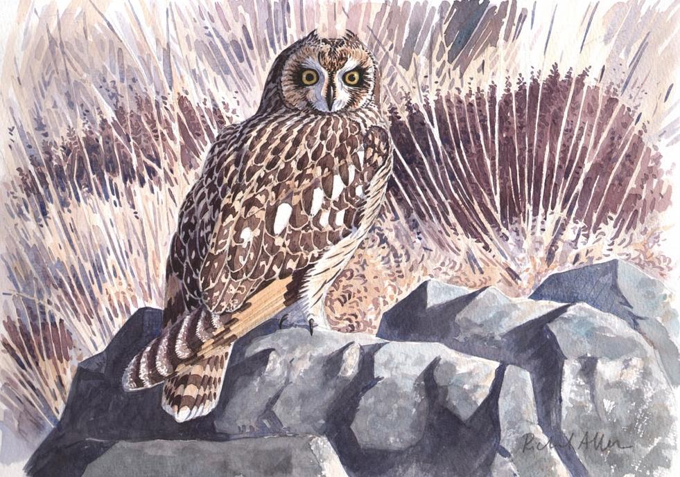 Allen-Richard-Short-eared Owl.jpg