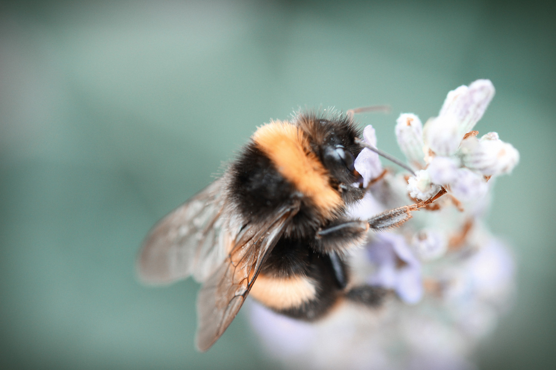 Lavender + Bees