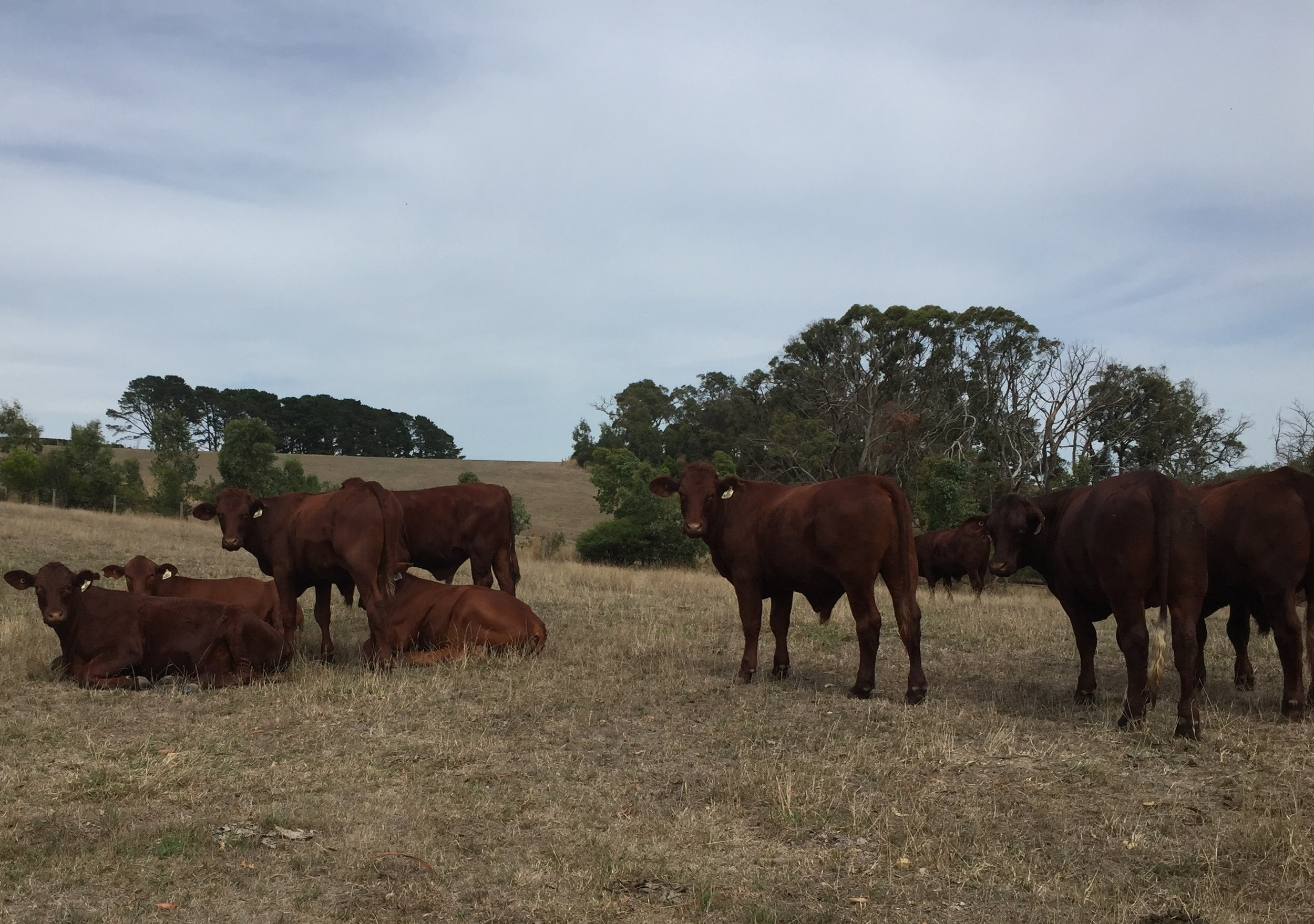 cattle at elgee park.jpg