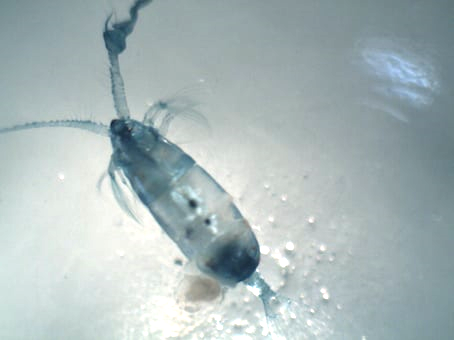 Copepod plankton found in the manta trawl during eXXpedition.
