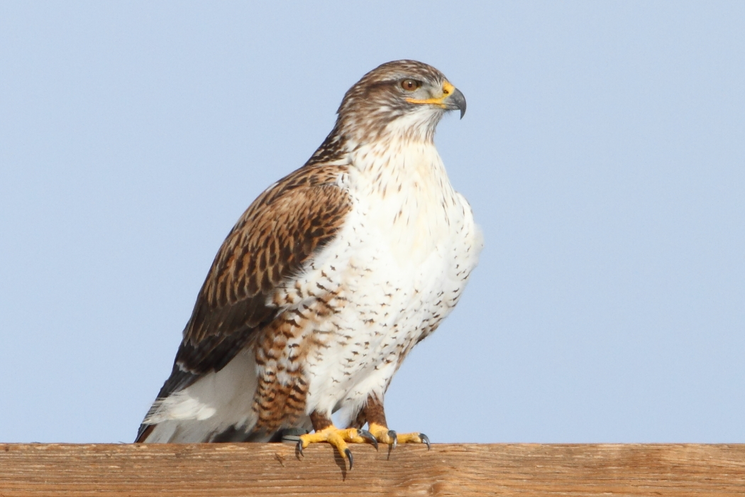 A ferruginious hawk keeping an eyes on things