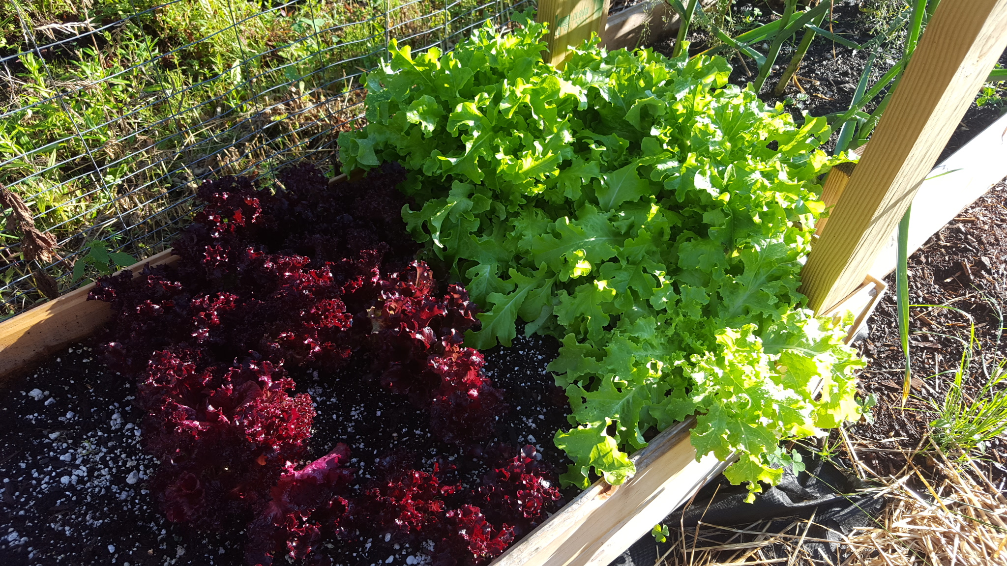 Green and red lettuce, basking in the sun!
