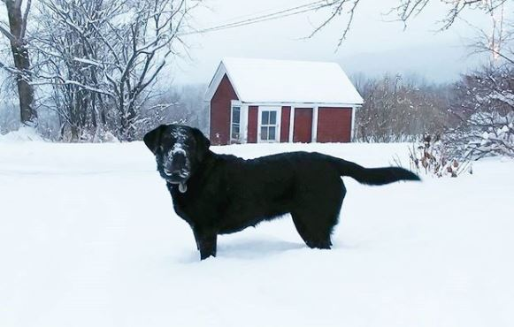 Stout, enjoying fresh snow at Vermont Bed and Breakfast at Russell Young Farm