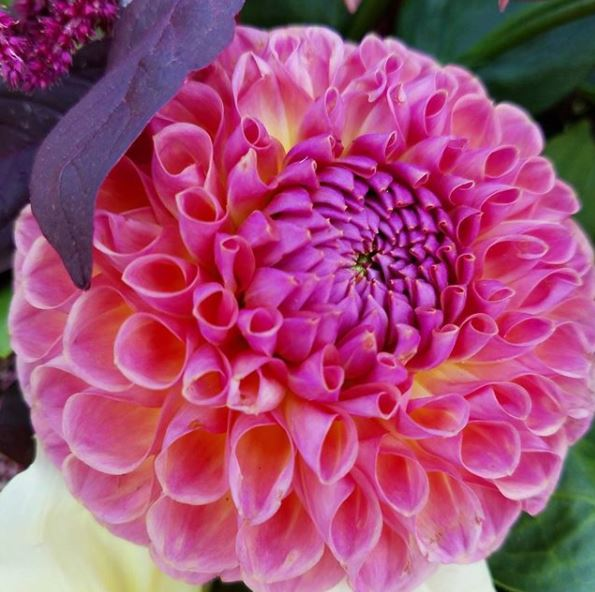 Dahlias are some of our favorite summer blooms!