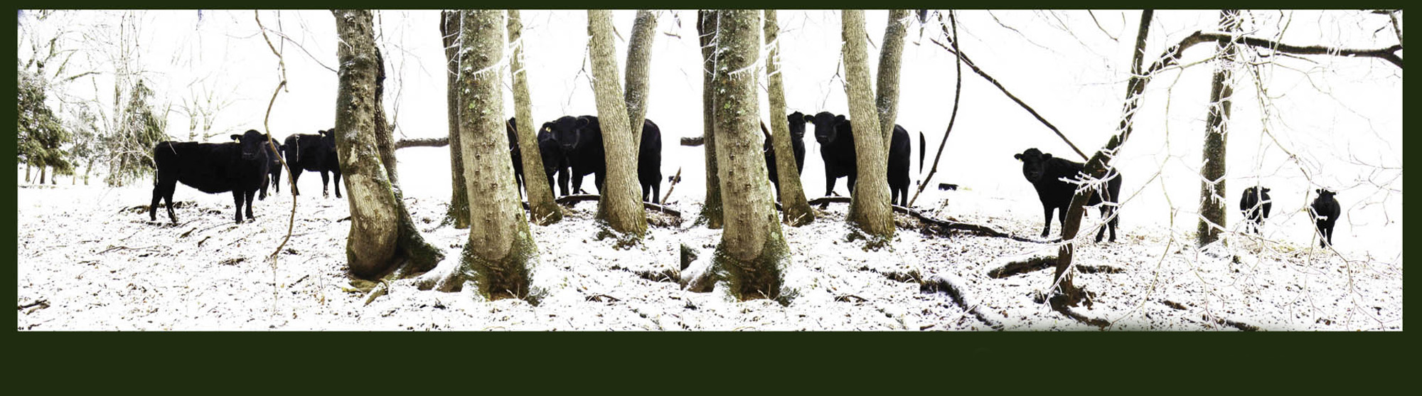 3 Black Angus in winter