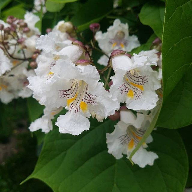 Catalpa trees hold a special place in my heart  #tree #flower #inspiration #ohio