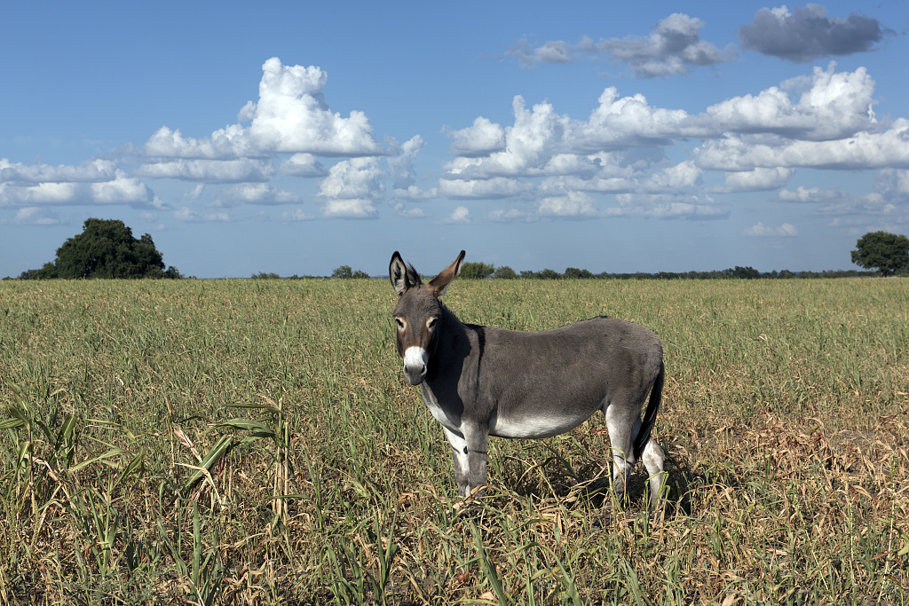Highsmith, Carol M, photographer. Dandy donkey in a field in Erath County, Texas. Erath County Texas United States, 2014. -09-04. Photograph. Retrieved from the Library of Congress, https://www.loc.gov/item/2015630957/. (Accessed November 27, 2017.)