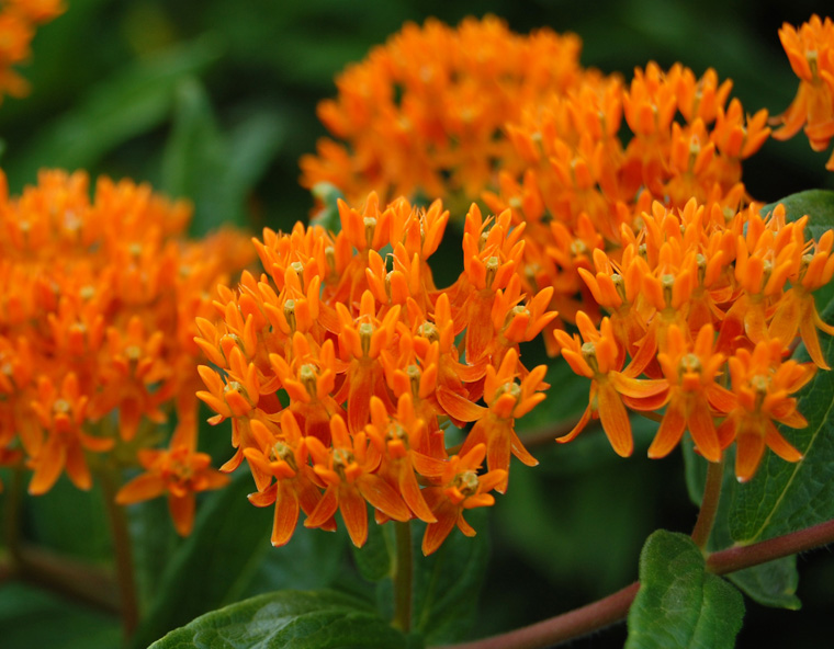 Orange%20butterfly%20flower;%20Asclepias%20tuberosa.JPG