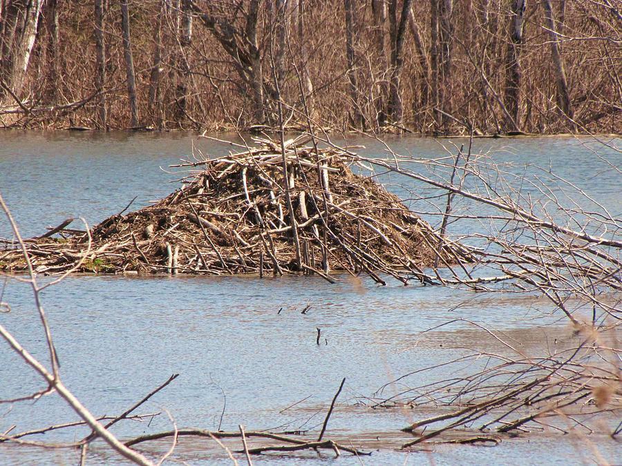 A beaver house