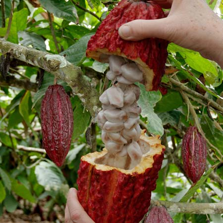 Cacao (a.k.a. Cocoa) Plant, whose seeds, or beans, are made into chocolate. ( Source )
