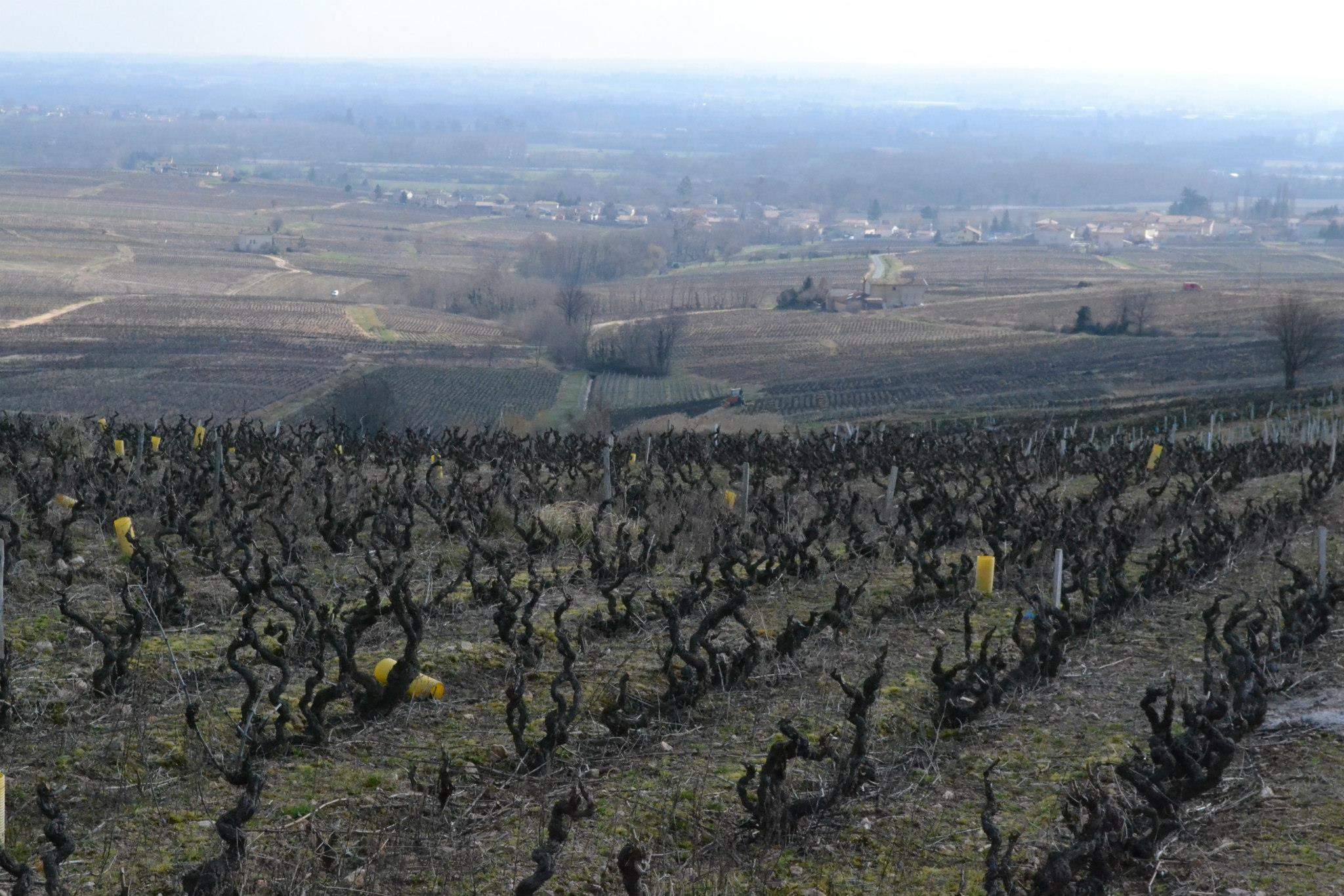 Old vine Gamay in Morgon, Beaujolais