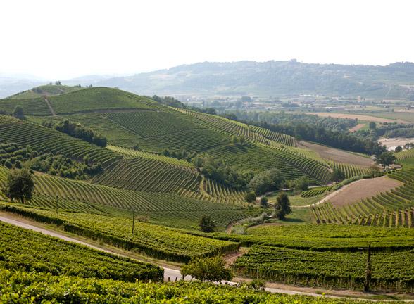 The Vineyards in Barbaresco