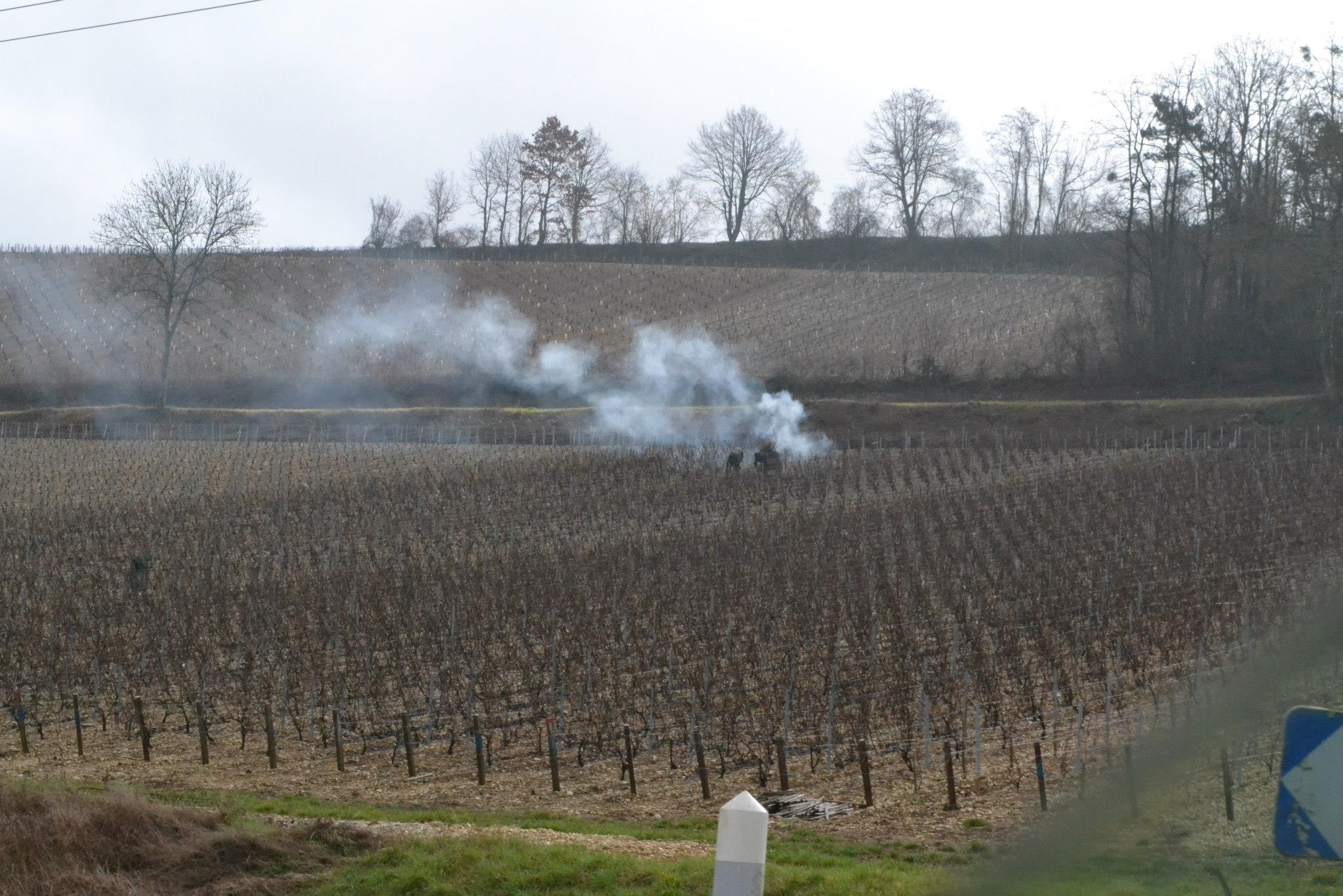 Pruning and burning the vine branches in March.
