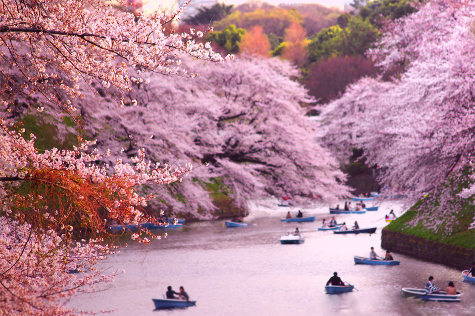 rowing-boats-during-cherry-blossom-at-chidorigafuchi-japan.jpg