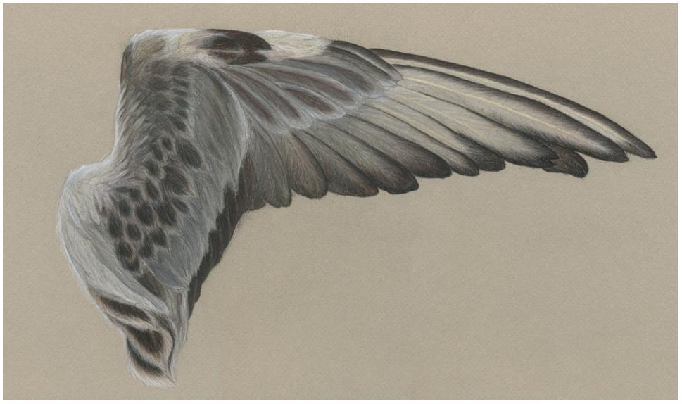 Bird Wing Specimen