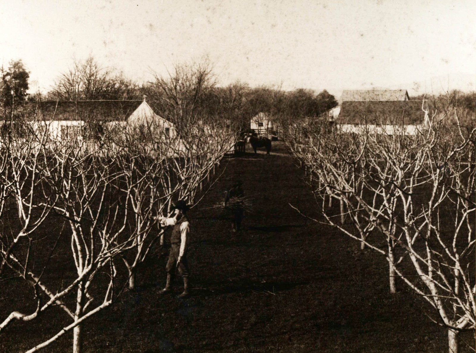Worker tending fruit trees on the Home Ranch in the 1800s.
