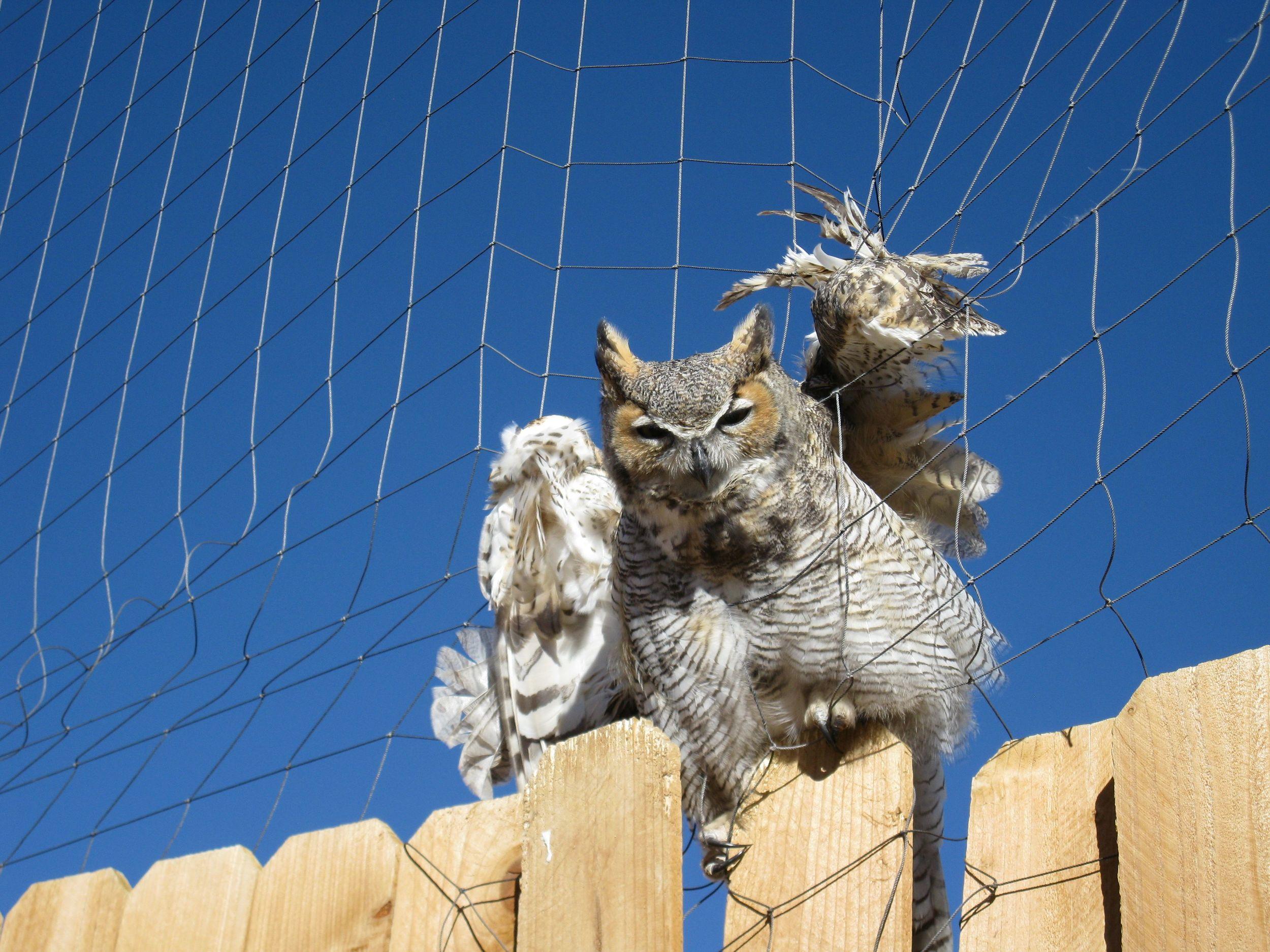 Great Horned Owl in Net 007.jpg