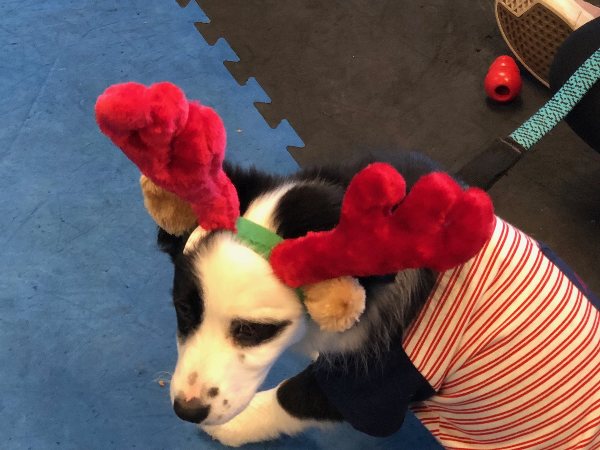 Max doesn't have anything on Honey the Christmas dog.