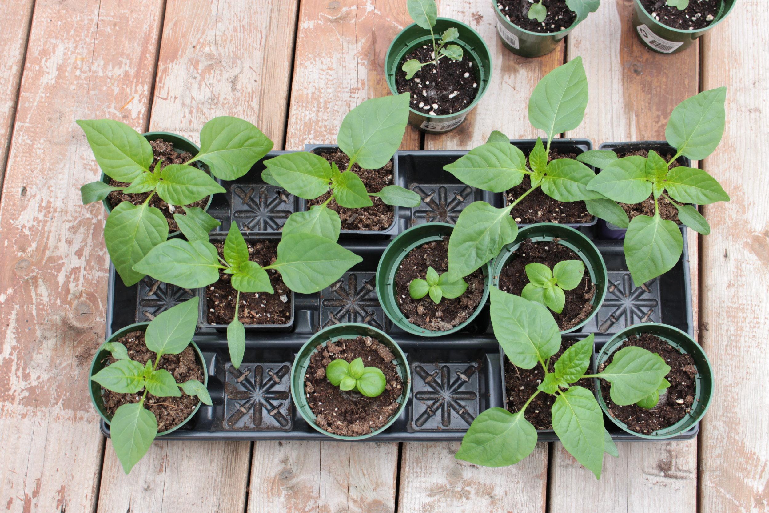 Quelques uns de mes semis