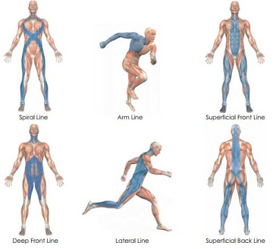 Myofascial Lines. Image from      Anatomy Trains by Thomas Myers