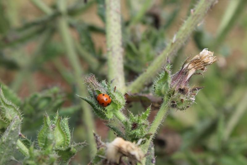 GenniferRose_Ladybug