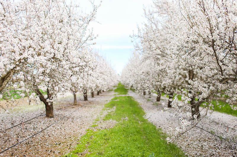 Gennifer Rose_Where to Find the Blooming Almond Orchards in Northern California_4.jpg