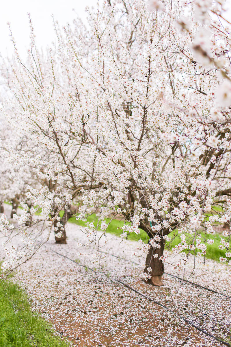Gennifer Rose_Where to Find the Blooming Almond Orchards in Northern California_5.jpg