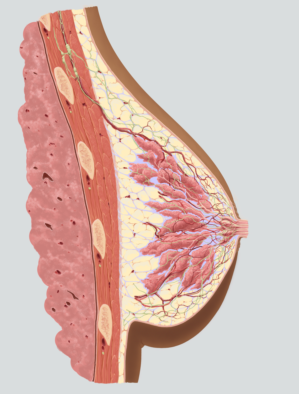 breast_cross_section.jpg