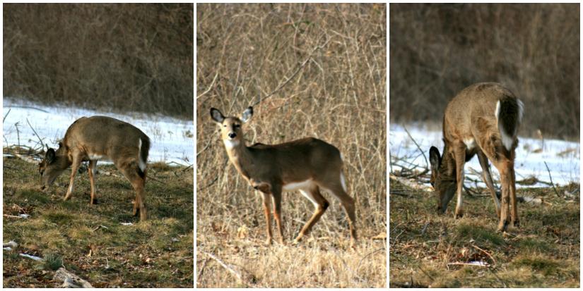 Deer+Collage1.jpg