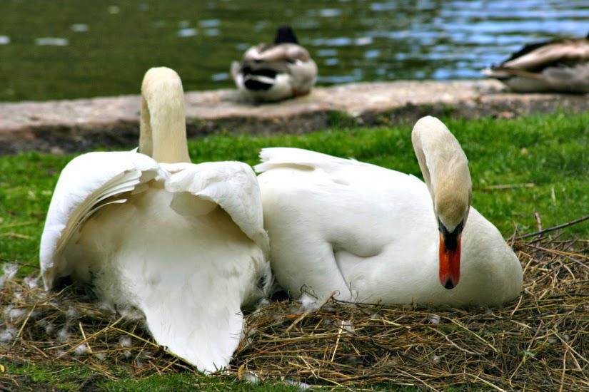 swan5.jpg