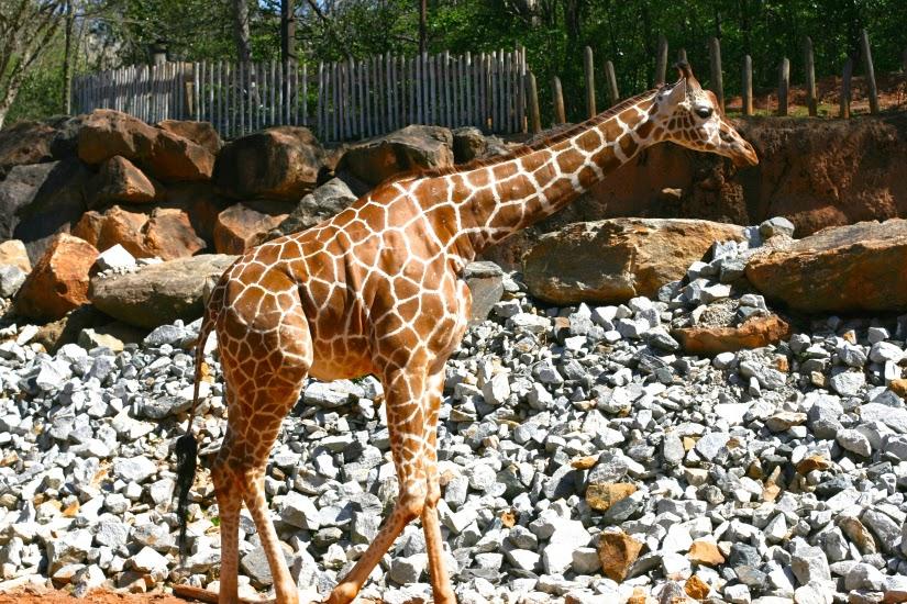 Giraffe%2Bat%2Bthe%2BAtlanta%2BZoo.jpg