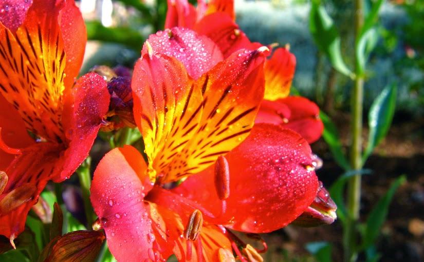 Hibiscus%2Bin%2BKenya.jpg