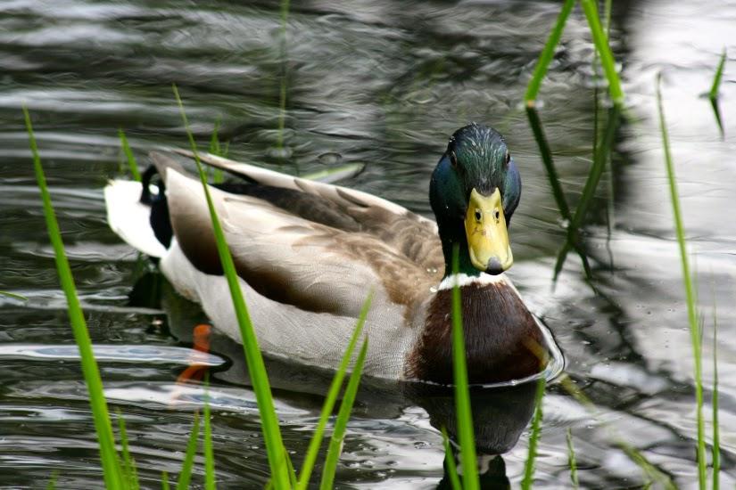 duck+stare1.jpg