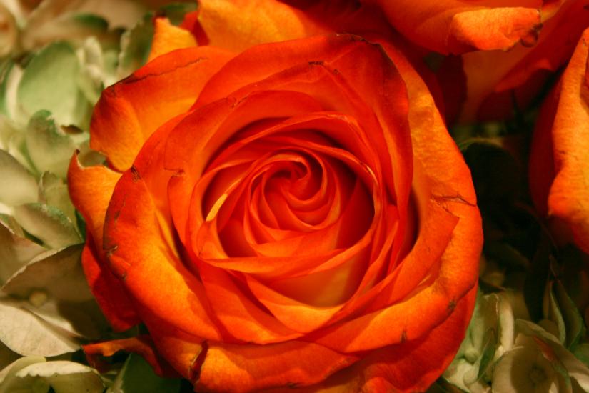 A+rose+is+a+rose1.jpg