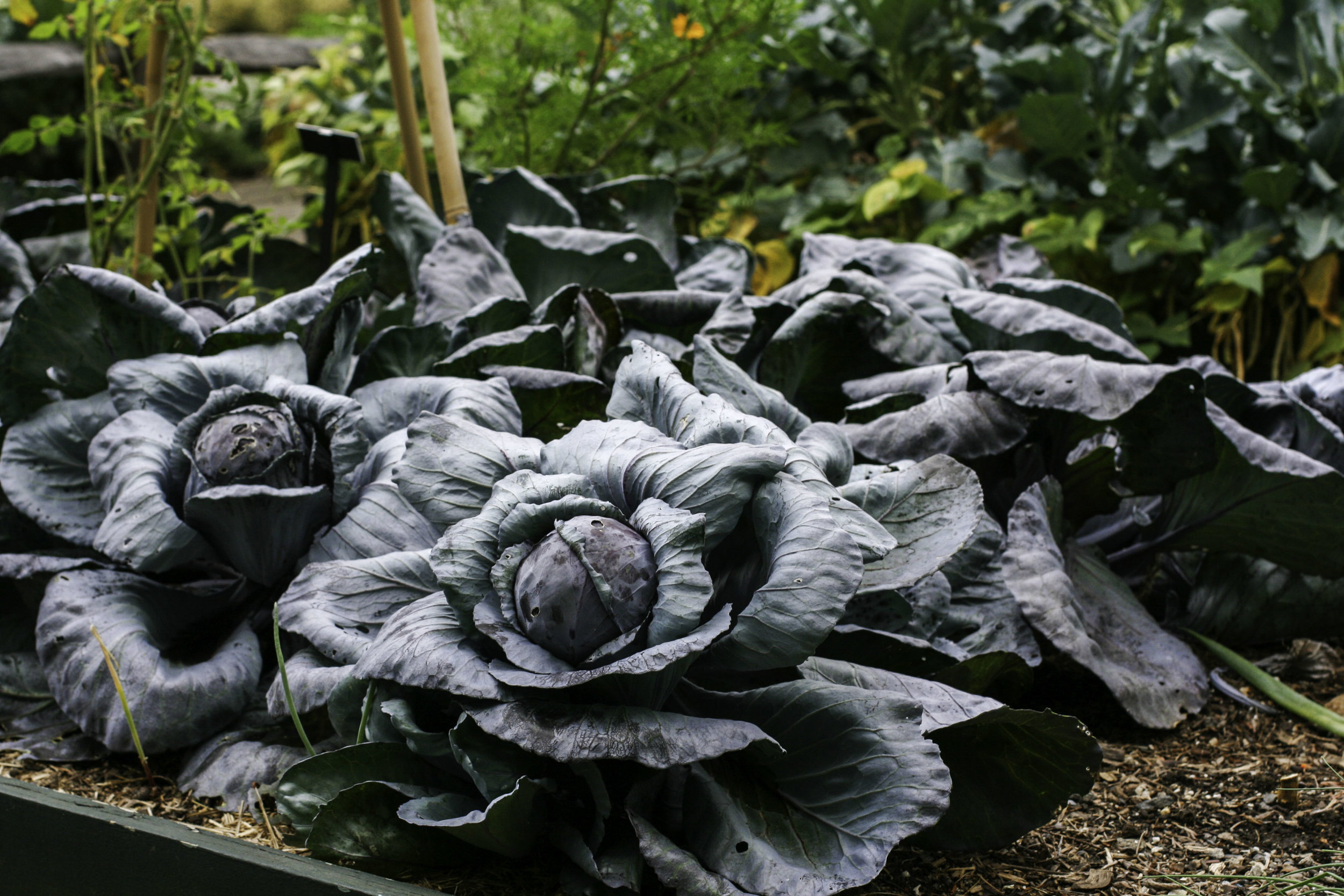 I'm growing some cabbage this year, can you imagine if it ended up looking like this? Seriously, doesn't this look enchanted?!