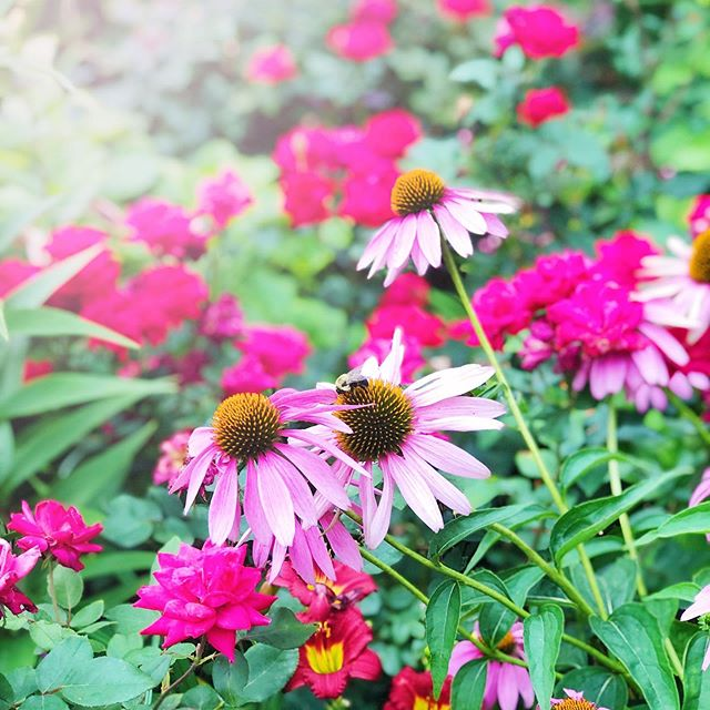 *need to add coneflower to my garden ASAP* . . . As I said it, Stevie took a deep, long breath. 😆🌺 . . . #nycinspired #flowergram #pikesprepareformyarrival