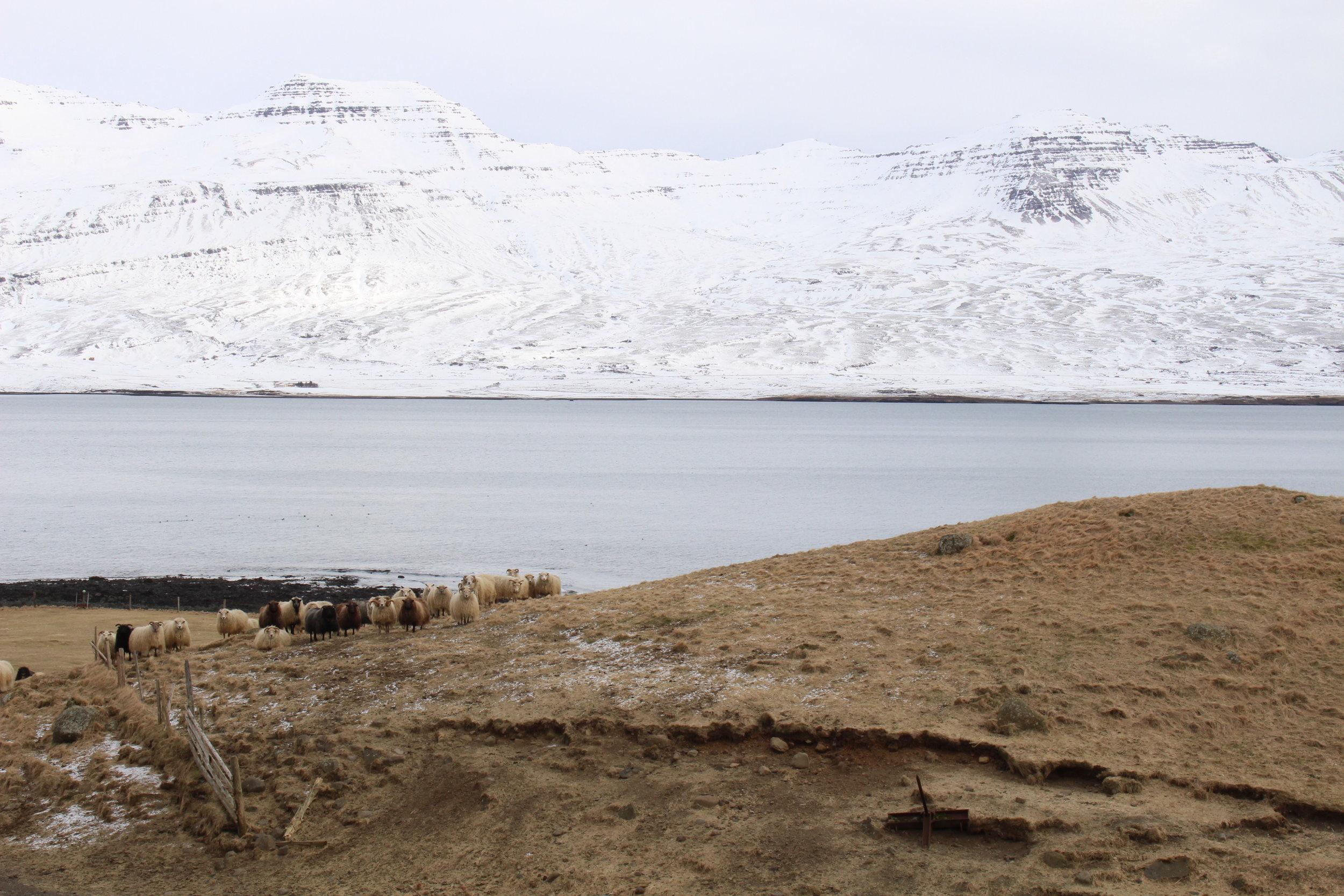 Icelandic Sheep on the shores of Berufjörður