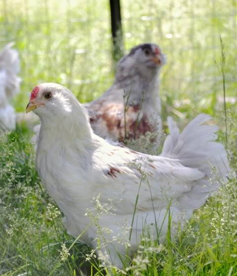 Easter Egg, Astralorp and Barnvelder hens.