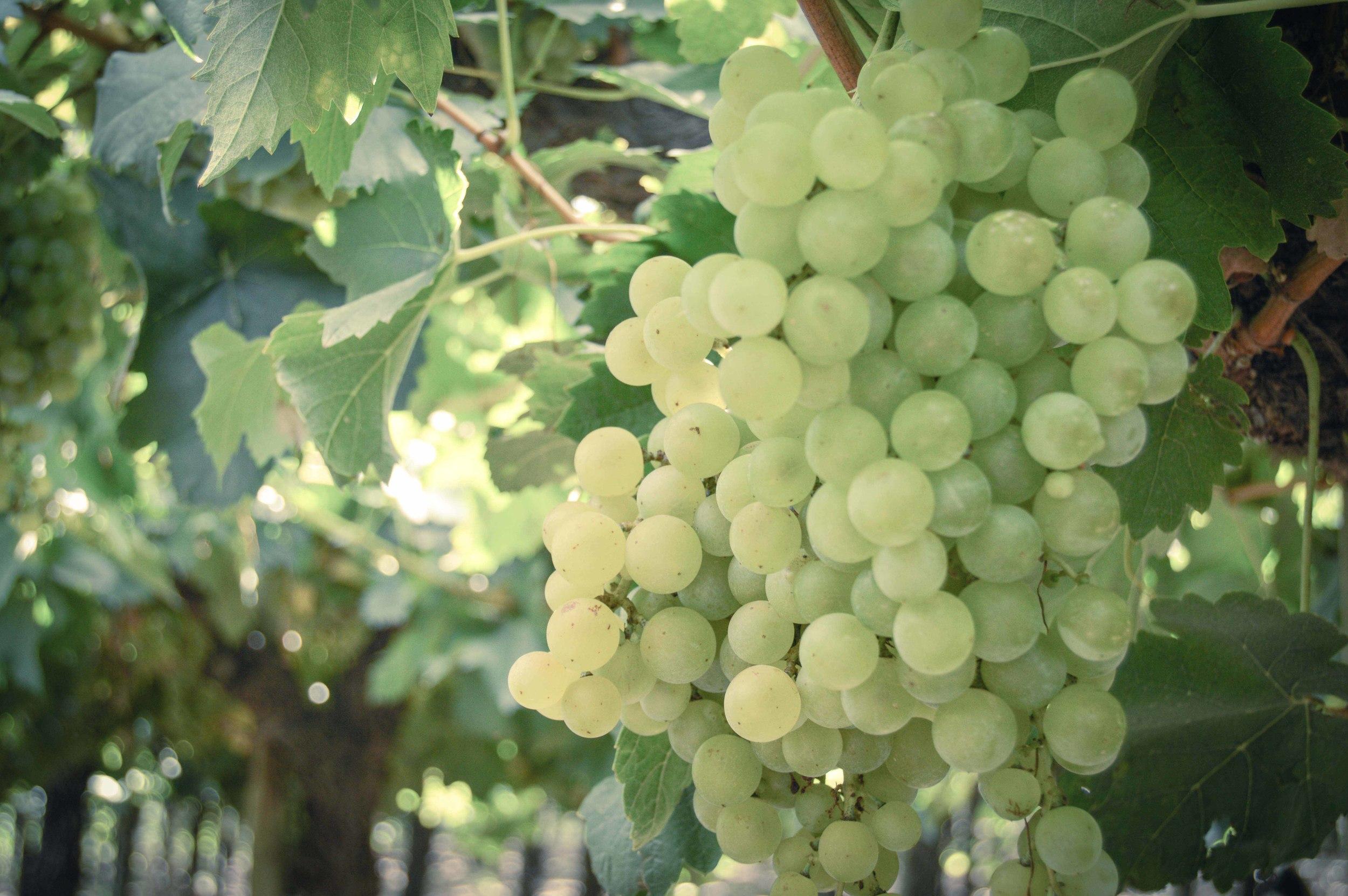 lariojana-grapes(8).jpg