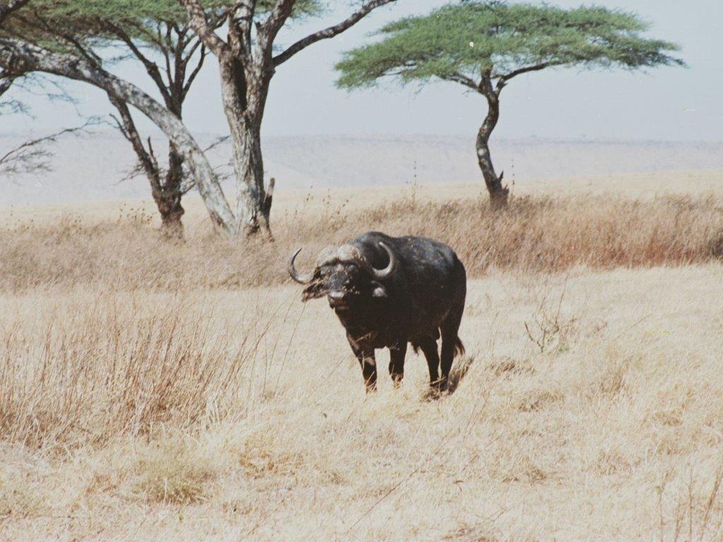 Cape Buffalo 3.jpg