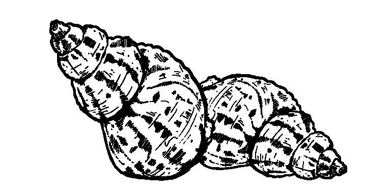 Whelk_1.jpg